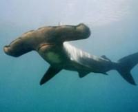 Köpekbalıklarının yön bulma sırrı