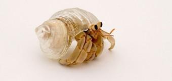 3D yazıcılarla yengeçlere ev üretiliyor