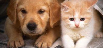 Kediler en az 'köpekler kadar akıllı'