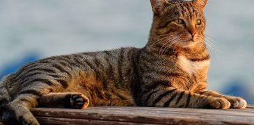 Bilim dünyası açıkladı: Kedilerin kökeni Türkiye