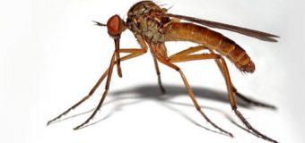 GDO'lu böceğe ilk onay