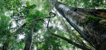 Kuraklığa karşı 'karbonhidratlı ağaç'