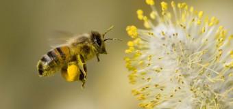'Arılar tarım ilaçlarının tiryakisi oldu'