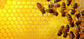 Amerika'da bal arıları hızla yok oluyor