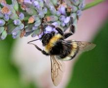 Arılar da kafeinsiz güne başlayamıyor